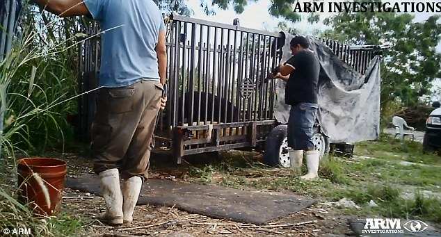 Shot but not killed: The ARM investigation captured footage of a slaughterhouse worker shooting a boar before dragging the animal 150 feet with a hook while it was still alive