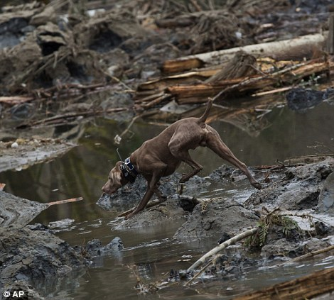 Desperate search: A member of a search & rescue team searches underneath a destroyed home in the debris field after the mudslide near Oso, Washington on Tuesday as a search dog roams and sniffs through the debris field