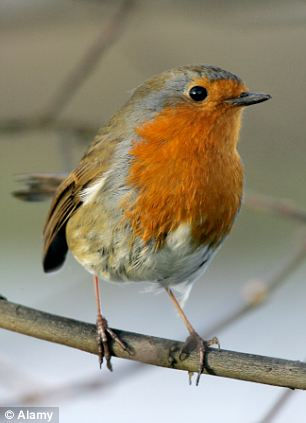 A robin standing on a branch