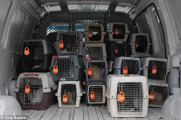 Heavy load: The SPCA removed about 130 cats from the Houston home