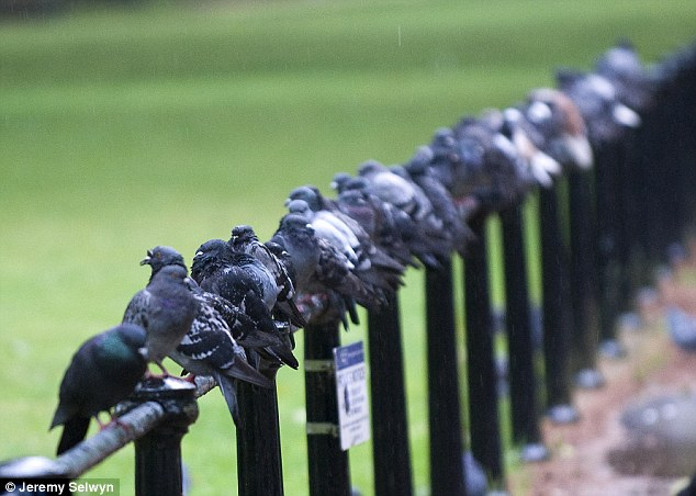 Problem: According to the RSPB, there are 5,400,000 breeding pairs of wood pigeons in the UK