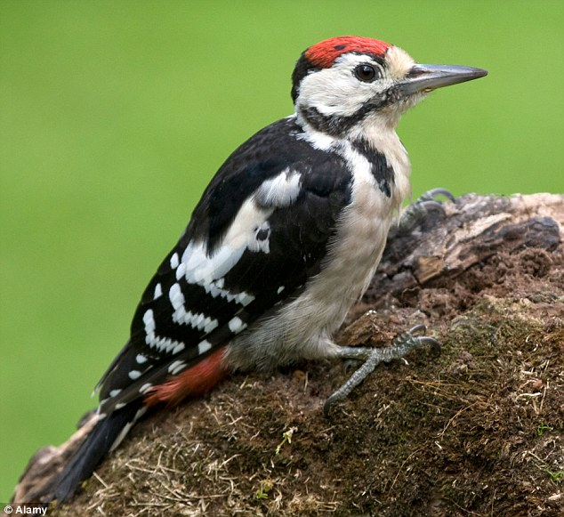 Flying high: The Spotted Woodpecker has risen in the RSPB list of birds which are thriving in British gardens