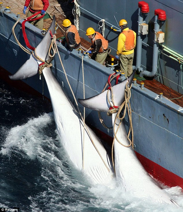 Workers on a Japanese whaling vessel dragging two whales which are tied to the side of their ship in the Southern Ocean
