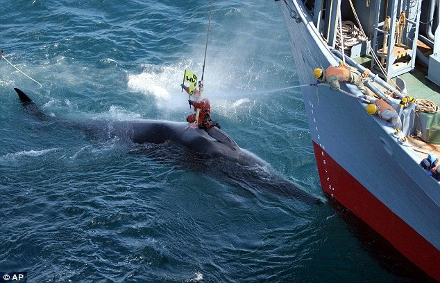 Greenpeace activist Mikey Resato on top a harpooned whale as crew members aboard a Japanese whaling vessel hose him down in the Southern Ocean