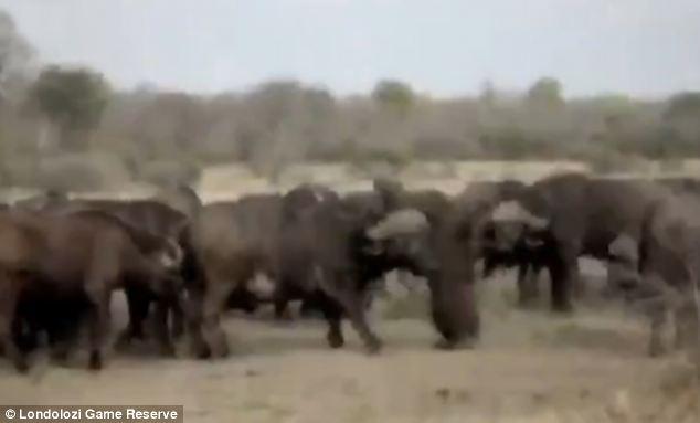 Desperate: Finally, the buffalo managed to reach the fallen calf - and desperately tugged at its body and face (pictured) in an attempt to revive it. But despite their efforts, the animal remained motionless on the ground