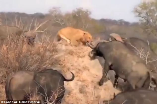 Cornered: The buffalo later surrounded an individual lion, which can be seen cowering on a large rock