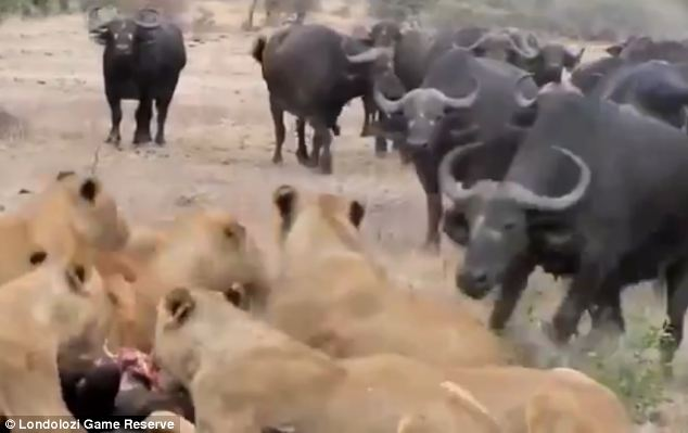 Brave: Dozens of buffalo are captured confronting a pride of lions in a desperate bid to rescue a small member of the herd. They can be seen running towards the lions as they tear at their prey's flesh, before tackling them