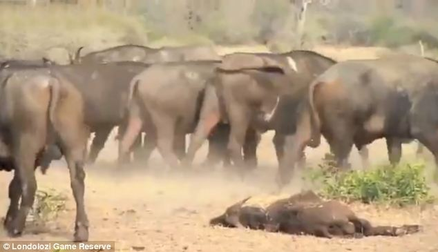 All over: The buffalo eventually accepted their young one was dead and moved away to allow the lions to feed