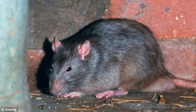 Pest controllers have seen an increase in the numbers of huge rats, which experts say are growing fat on junk food thrown away by humans