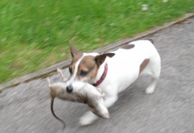 Jack Russell, Max, owned by Royal Tunbridge Wells resident Mark Willmott, caught one of the large rats whose numbers are increasing around the country