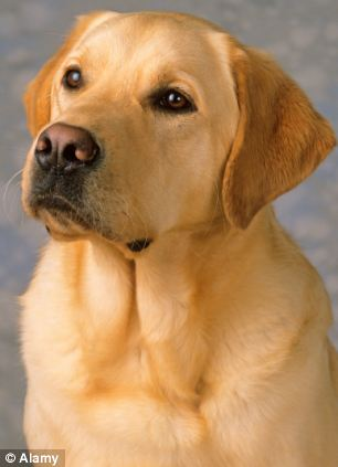 Key witness: Tango the Labrador sat in the box as his owner's murder suspect threatened him with a bat