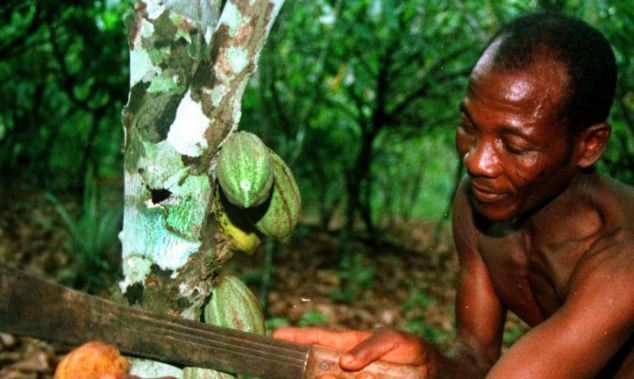 Cocoa: Gambi Gbanble harvests a pod of cocoa beans from his plantation near the village of Baba, in the southern rainforests of Ivory Coast