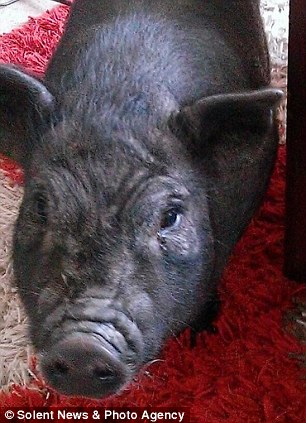 Slaughtered: Marmite the micro pig, pictured, was loaned to a school because he was lonely at home