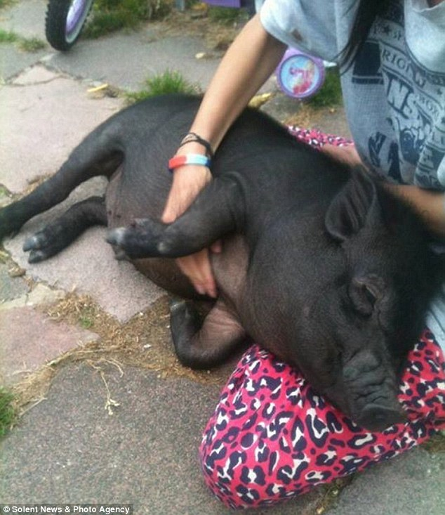 'Docile': Miss Dell described how her pig was calm and loving, although school officials say he bit a member of staff