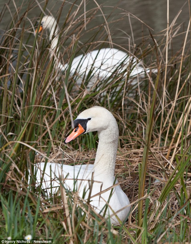 They often threaten humans who venture too close to their nests while issuing a warning call