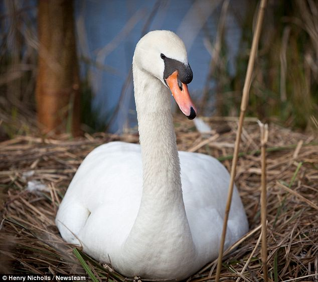 University bosses have been forced to erect a fence around a lake to stop a swan attacking students