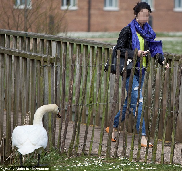 During the March to May breeding season, swans become very territorial and can be aggressive to any intruders