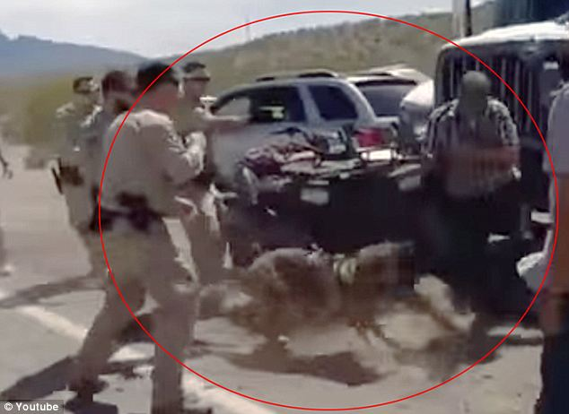 Violent: A federal officer is seen firing a taser gun at Cliven Bundy's son Ammon Bundy as an aggressive police dog goes after him