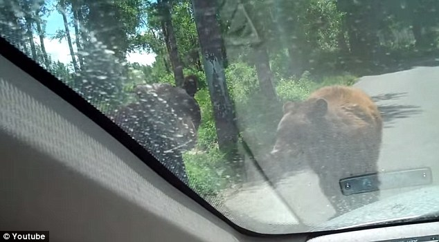 Completely surrounded: The bear then went off to brag to his friends about what he had done