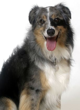 Health: Pedigree dogs, such as this Border Collie, are no more vulnerable to common health complaints than mongrels, according to a new study
