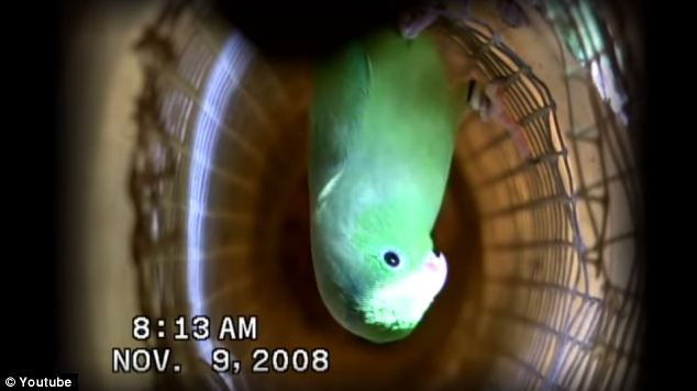 The team set up inconspicuous video cameras and audio recorders inside and outside 17 nests of newly hatched green-rumped parrots (Forpus passerinus) at a wild parrot research center in Venezuela.