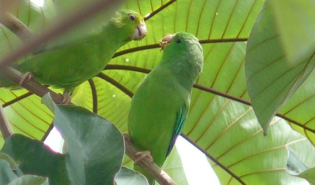 Cornell researcher Karl Berg constructed a bunch of parrot nests on a Venezuelan ranch, and installed cameras to hear and see everything they do.