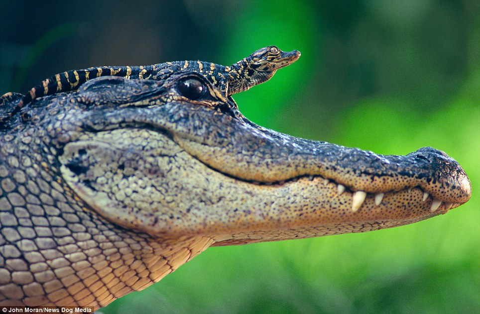 Riding high: A baby alligator rests on its mother's head to keep away from the water and attract some sun.The magical image was taken by was taken in St. Augustine Alligator Farm, Florida, in by John Moran, 58