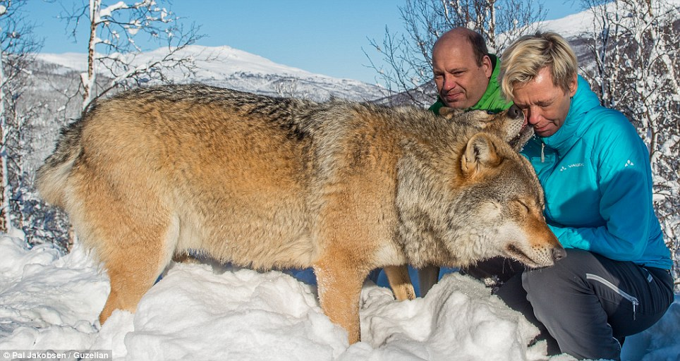 Mr Jakobsen said: 'I felt both awe and curiosity when we went in to the wolves, but tried to remain calm at all the time thinking about how I should conduct myself'