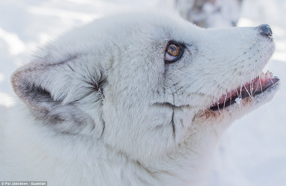 Boast: The Polar Park Arctic Wildlife Centre in Norway is the northernmost of its kind in the world and has three arctic foxes. Hardly any survive in Norway and Sweden