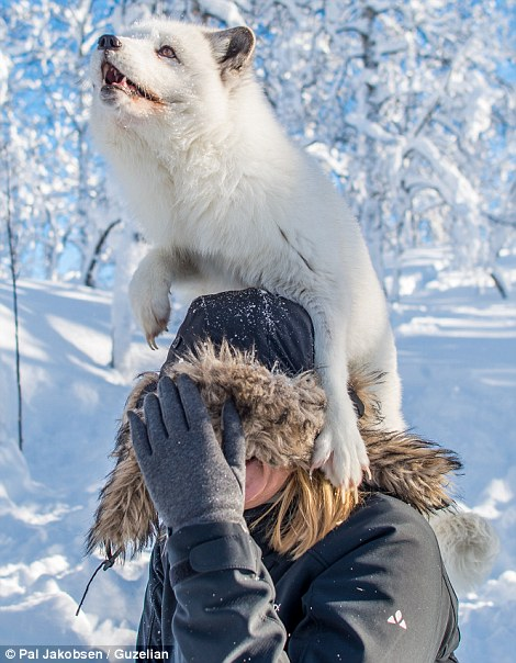 An arctic fox on visitor Lene Kvandal