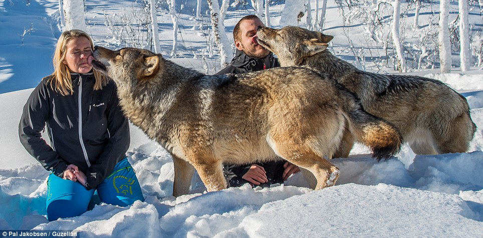 Give us a kiss: The wolves even licked the faces of their visitors at the wildlife park. Mr Jakobsen said: 'Meeting these socialised wolves has been a very special experience'