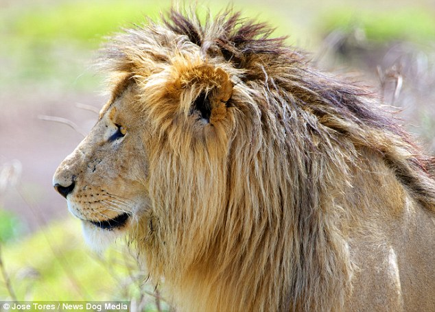 Lonely: ...But in real life, the scar-faced lion seemed far more interested in calling out to find a mate