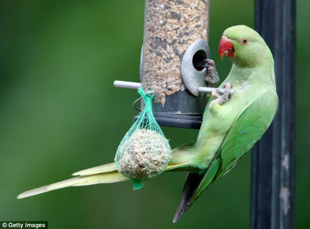 Parakeets feed from a bird feeder in a domestic back garden in Charshalton Beeches in London