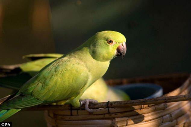 A study found ring-necked parakeets, known for their acid green colour, large size and loud squawking, are frightening away small garden birds