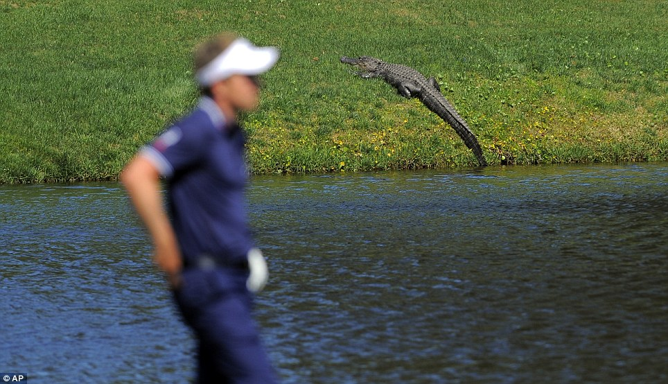 Happy Gilmore moment: England's Luke Donald prepares to hit out of a water hazard near an alligator on the 10th fairway during the final round of the RBC Heritage golf tournament in Hilton Head Island, South Carolina