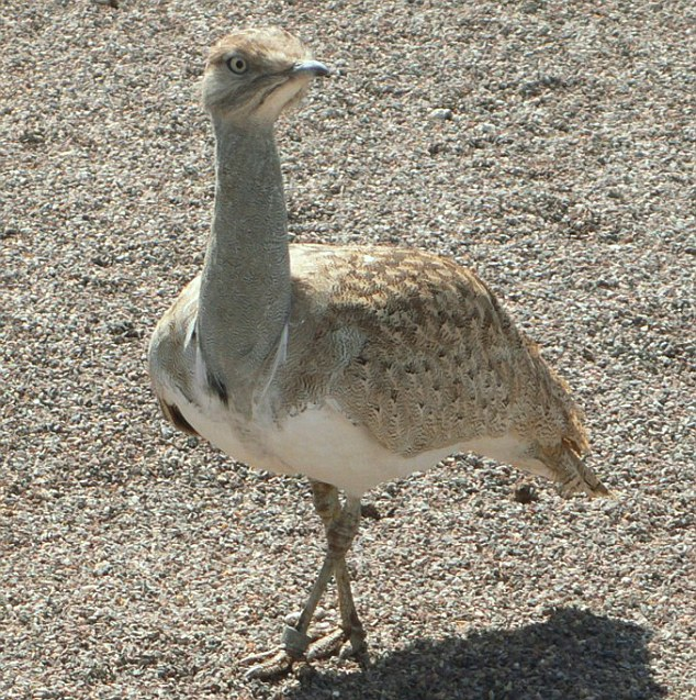 At risk: Hunting in Pakistani sees the global houbara population shrink by between 20 and 30 per cent annually. Houbaras are highly valued by Arab royals, who consider their meat to be an aphrodisiac