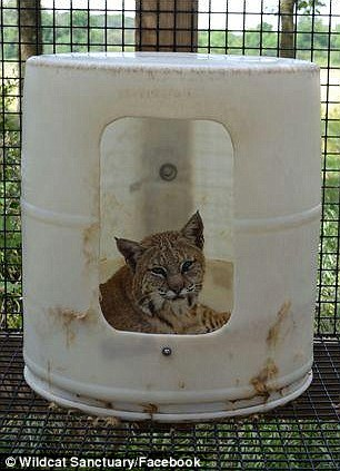 The sanctuary has an annual budget of about $850,000, which includes staff salaries and the care and feeding of wildcats