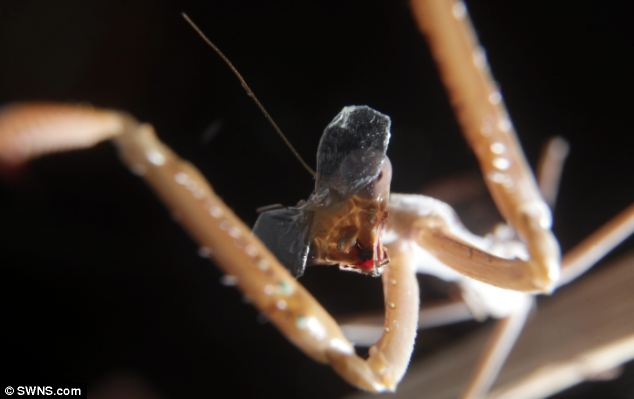 Good Will Hunting: If the insect (pictured) accurately pounces when watching the 3D film with its glasses on, it will prove that despite its simple nervous system, it can process the images in the same way as humans, the scientists said