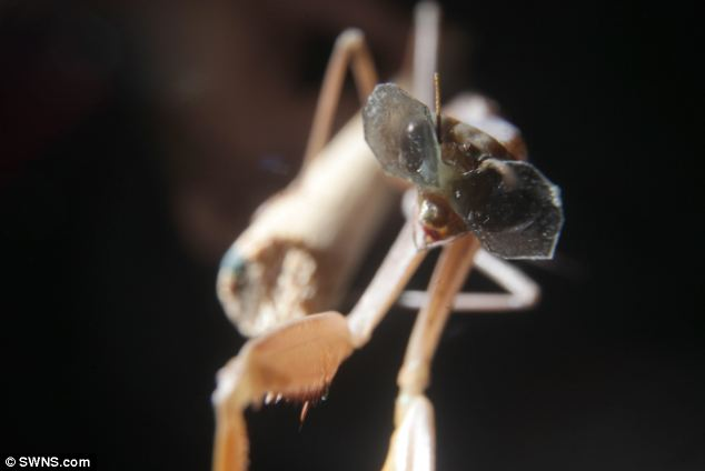 Three dimensional: It is the first major research project investigating mantises since 1983 when Samuel Rossel discovered they have 3D vision