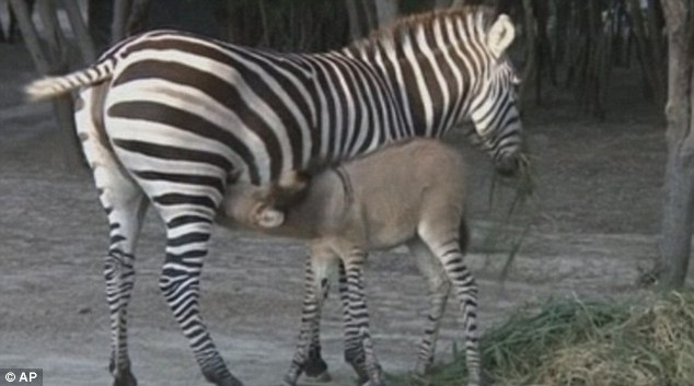Mother & calf: Khumba the zonkey and her mother, Rayas, at the zoo in Mexico