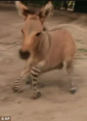 A zoo in northern Mexico recently welcomed an unusual animal into the world, a rare creature known as a zonkey, although also called a zedonk or donkra