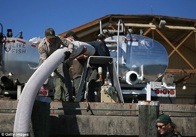 California Department of Fish and Game workers move a pipe into place before releasing thousands of fingerling Chinook salmon into the Mare Island Strait
