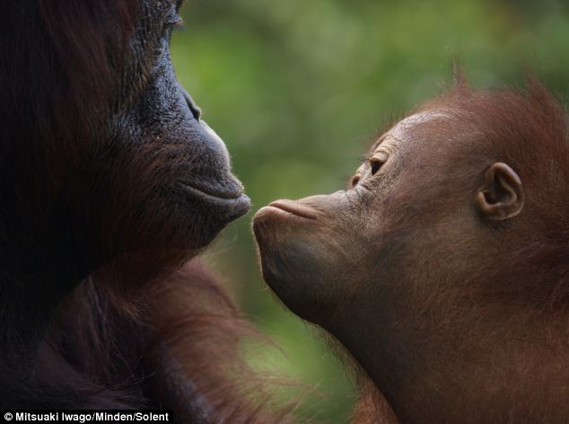 A baby orangutan studies its mother's mouth, learning how she uses it to perform different tasks. It can take up to eight years for a mother to fully raise her young