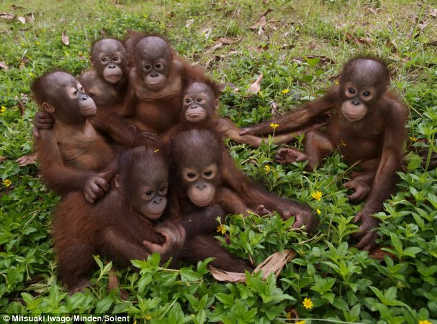 These orphaned orangutans were photographed at a rescue centre in Borneo. Although they have lost their parents, that have bonded as if they were siblings