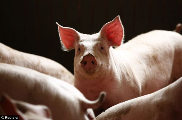 The nation's pig farmers are struggling to get to grips with a deadly virus that has wiped out more than 10 percent of the animals in less than a year and sent retail pork prices soaring to record highs
