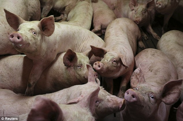 Infected piglets cannot absorb nutrients from food or water, they contract diarrhea and die from dehydration