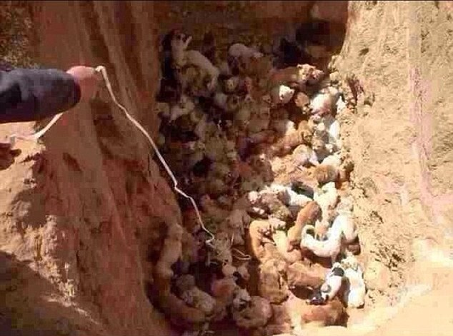Condemned to death? Animal welfare campaigners found more than 100 stray dogs (above), including several puppies in a 20ft-deep ditch before they were allegedly buried alive by government officials in China