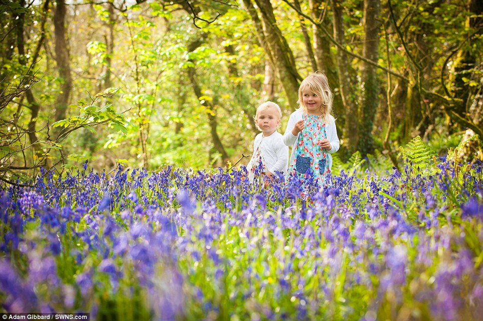 Pretty scene: Tallulah (right), three, and Sequoia Ferguson, two, enjoy the stunning bluebells which have flowered in St Loy, Cornwall today