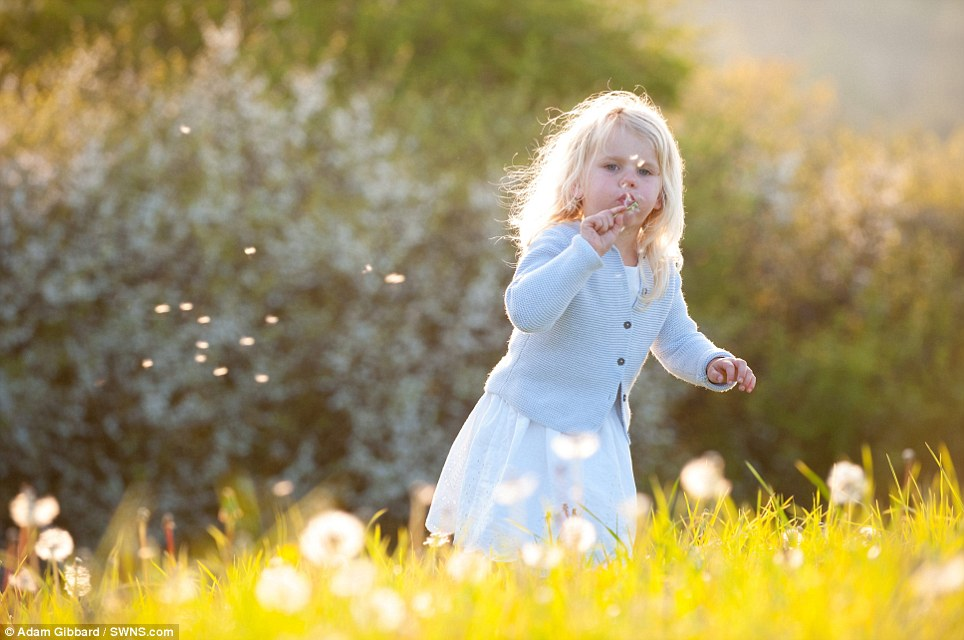 Here comes the summer: Tallulah Ferguson, three, enjoys playing around the bluebells and dandelions which have flowered in St Loy, Cornwall