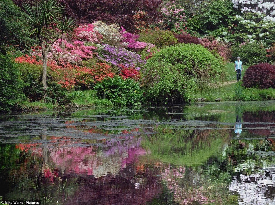 Delightful: A spectacular display of azaleas and rhododendrons pictured today after they bloomed two weeks early at Exbury in the New Forest, Hampshire